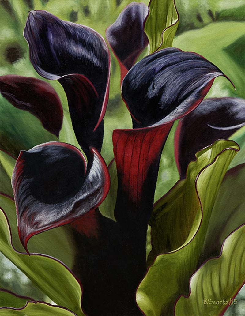 Black Arum lilies